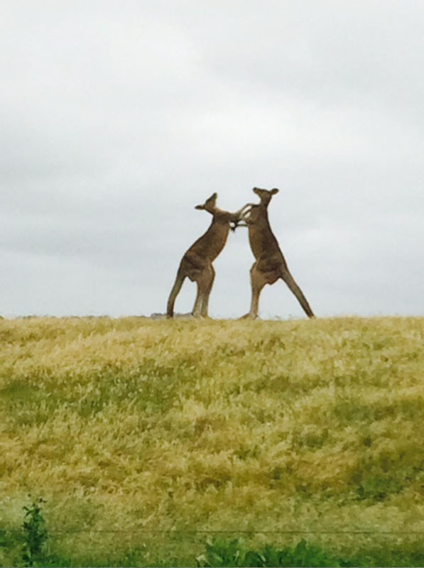 Princetown Recreation ReserveKangaroos boxing to find out who is going to get the best campsite...