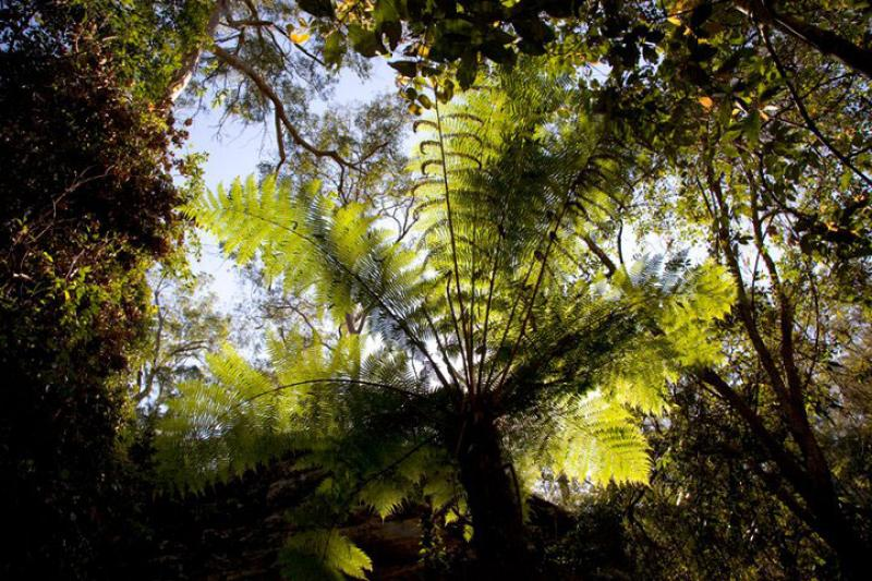 Cania GorgeTree fern on the rainforest walk