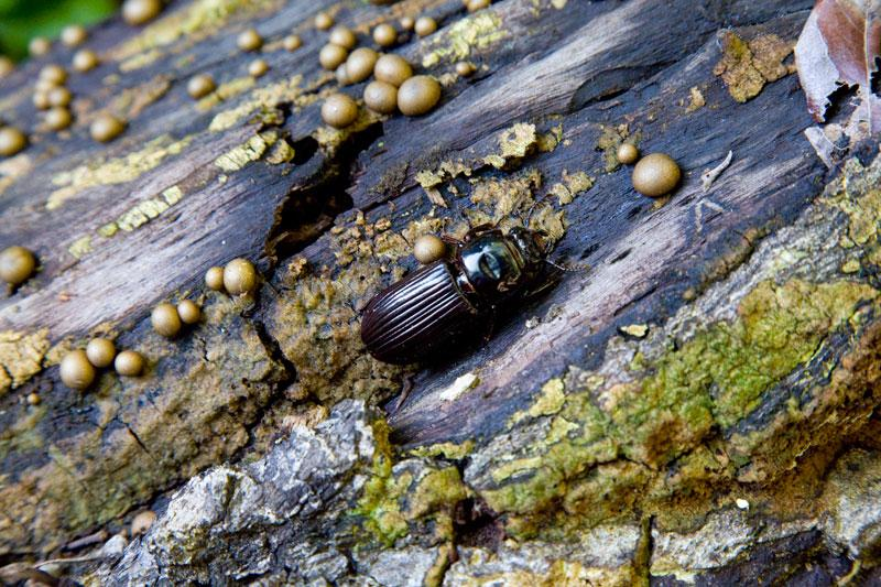 Cania GorgeBeetle on a log, rainforest walk in Cania Gorge