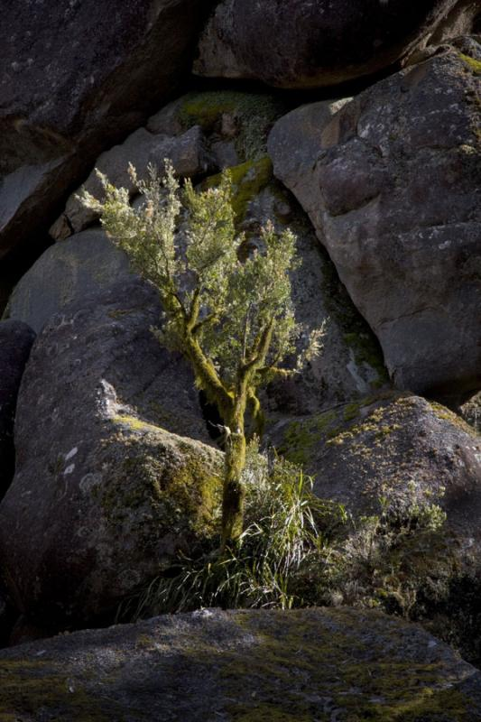 In the spotlightIt was almost as if the sun had picked out this small moss covered tree. The plant life here has to find any nook it can among the granite boulders