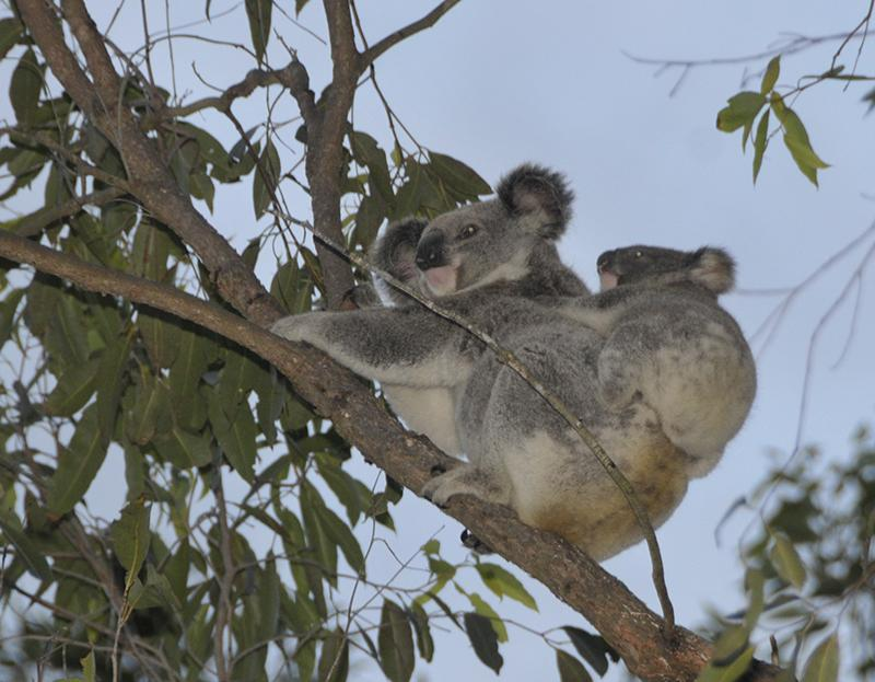 The Channon VillageKoalas live in and around the campground